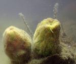 Tetilla quirimure in aquarium