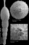 Scallopostoma conica (Neugeboren, 1852) IDENTIFIED SPECIMEN