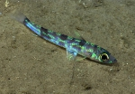 Chlorophthalmus agassizi  Photograph courtesy of NOAA Okeanos Explorer, Océano Profundo 2015. Identifications by A. Quattrini et al. For more information see: Quattrini AM, Demopoulos AWJ, Singer R, Roa-Veron A, Chaytor JD (in press). Demersal fish assemblages on seamounts and other rugged features in the northeastern Caribbean. Deep Sea Research Part I: Oceanographic Research Papers.