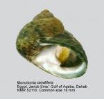 Monodonta canalifera