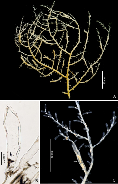 Hydroid stage of Ptychogena crocea