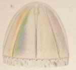 Colobonema sericeum from Vanhöffen, 1902