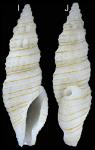 Otitoma elegans Morassi, Nappo & Bonfitto, 2017