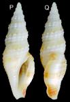 Otitoma philippinensis Morassi, Nappo & Bonfitto, 2017
