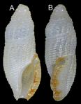 Otitoma rubiginostoma Morassi, Nappo & Bonfitto, 2017