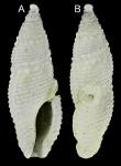 Otitoma cyclophora (Deshayes, 1863)