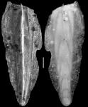 Plectofrondicularia nuttalli var acuta Cushman & Stainforth, 1945 HOLOTYPE