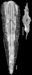 Plectofrondicularia keijzeri Bermudez, 1949 PARATYPE