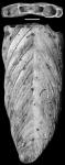 Frondicularia antilliana Palmer & Bermudez, 1936 HOLOTYPE