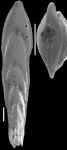 Mucronina dumontana (Reuss, 1861) IDENTIFIED SPECIMEN