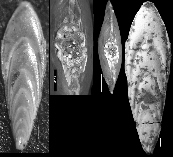 Plectofrondicularia basispinata Cushman, 1935 HOLOTYPE