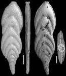 Plectofrondicularia palmerae Cushman & Bermudez, 1936 HOLOTYPE
