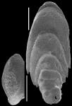 Mucronina flabelliformis (Guppy, 1894) IDENTIFIED SPECIMEN