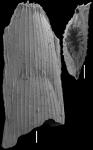 Mucro nina hasta (Parker, Jones & Brady, 1865) IDENTIFIED SPECIMEN, author: Hayward, Bruce