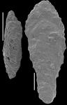 Mucronina hornibrooki Hayward, 2012 PARATYPE