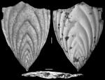 Plectofrondicularia jarvisi Cushman & Todd, 1945 HOLOTYPE