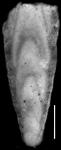 Plectofrondicularia morreyae Cushman, 1929 HOLOTYPE