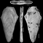Plectofrondicularia miocenica Cushman, 1926. HOLOTYPE