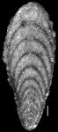 Plectofrondicularia searsi Cushman, Stewart & Stewart, 1948. HOLOTYPE