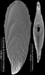 Mucronina miocenica (Cushman, 1926) IDENTIFIED SPECIMEN