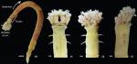 Owenia cassara original description figures 10-13