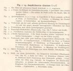 Graff Fig. 1-13, Amphichoerus cinereus, figure descriptions.