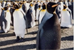 melanic king penguins