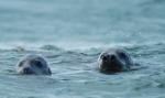 VLIZ website: Ocean life: Marine mammals