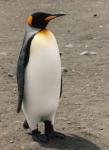 Adult king penguin