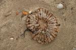 Kompaskwal - Chrysaora hysoscella