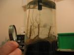 Lanice conchilega in experimental cores