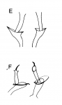 C. tetradactyla