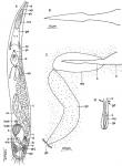 Marirhynchus longasaeta