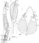 Psittarhynchus verweyi