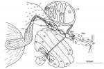 C. rubra