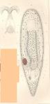 4.  Vortex viridis mihi (Hypostomum Schm.).  Die gr?nen K?rnchen sind Chlorophyllk?gelchen.  a. Centralnervensystem.  b.  Auge.  c.  Mund?ffnung.  d.  Schlund.  e.  Dr?senzellen zum Verdauungsapparat geh?rig.  gg.  Hoden.  hh.  vasa deferentia.  i.  Samenblase.  k.  penis. l.  Innere Geschlechts?ffnung.  Dicht darunter die ?ussere.  m. Scheide.  n. receptaculum seminis.  oo. Keimst?cke.  p.  uterus.  q.  ein Ei in der Leibesh?hle liegend.  vv.  Dotterst?cke.  5.  Samenblase und Begattungsglied im ausgebreiteten Zustande von Vortex viridis be 360mal.  Vergr?sserung.  a.  Samenblase, in welche die beiden vasa deferentia einm?nden.  b.  ductus ejaculatorius.