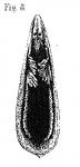 P. baltica