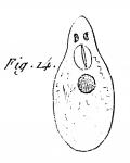P. melanops