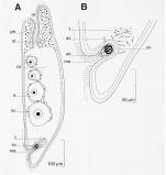 Proporus bermudensis