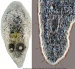 Pseudaphanostoma smithrii