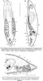 Childianea coomerensis