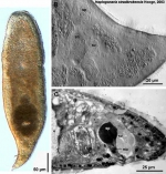 Haplogonaria stradbrokensis