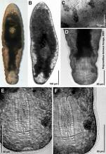 Polycanthus torosus