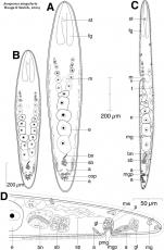 Anaperus singularis