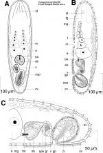 Isodiametra earnhardti