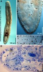 Pseudohaplogonaria cerasina