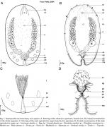 Haploposthia lactomaculata