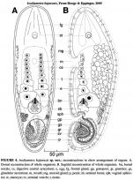 Isodiametra bajaensis