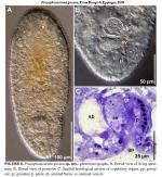 Praeaphanostoma gusana