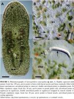 Symsagittifera smaragdina